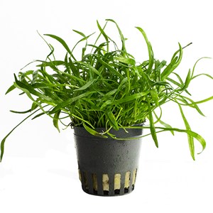 Lileopsis novae zelandae pot