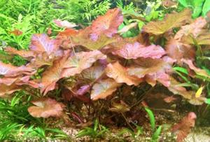 Nymphea Lotus rood