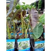 Waterplantactie Colocasia
