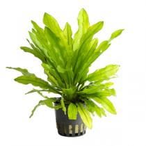 Echinodorus martii pot