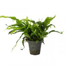 Microsorum pteropus minor pot