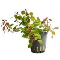 Ludwigia sp. mini super red pot