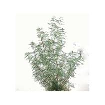 Myriophyllum spicatum / Aarvederkruid