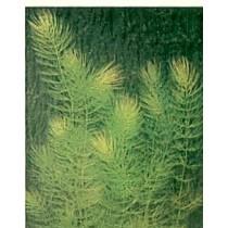 Ceratophyllum demersum,  bos