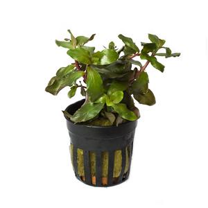 Ammania senegalensis pot