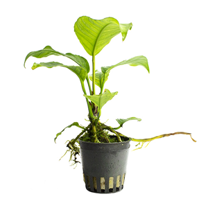 Anubias hastifolia pot
