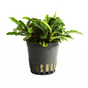 Bucephalandra green pot