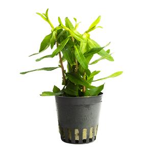 Proserpinaca palustris pot